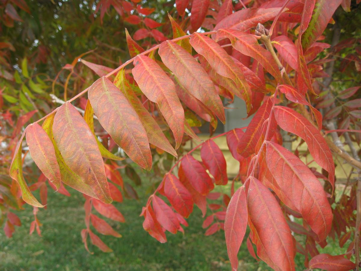 Colorful leaves are seen on a Chinese pistache tree in Jurupa Valley